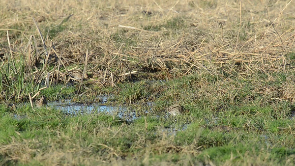 Five Wilson's Snipe grazing in the muck at the Konyn Dairy in San Pasqual. 12-04-2011