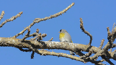 Lawrence's Goldfinch 3-4-2012 Carlsbad