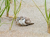 Pipping Plover