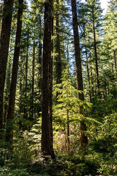 Forest Sapling
