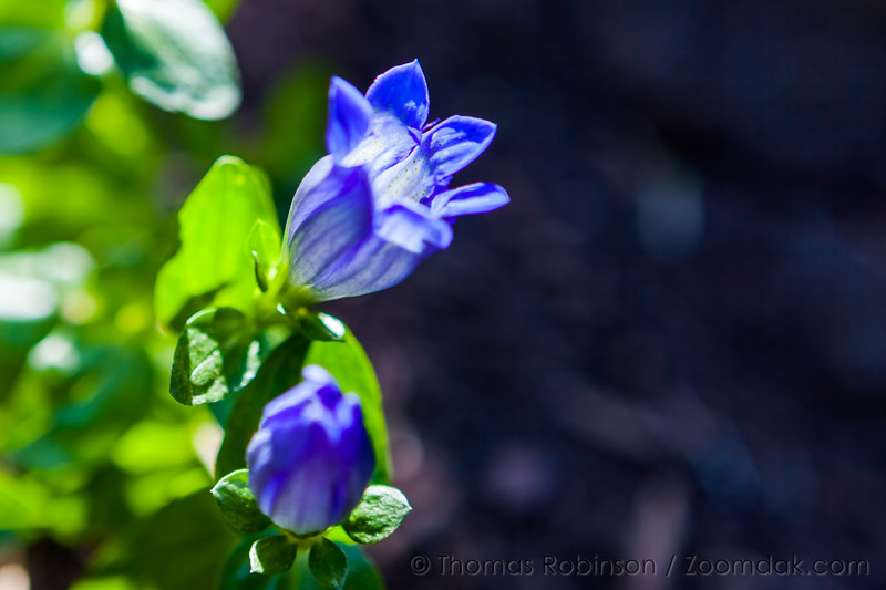 Pleated Gentian