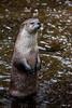 River Otter Perch