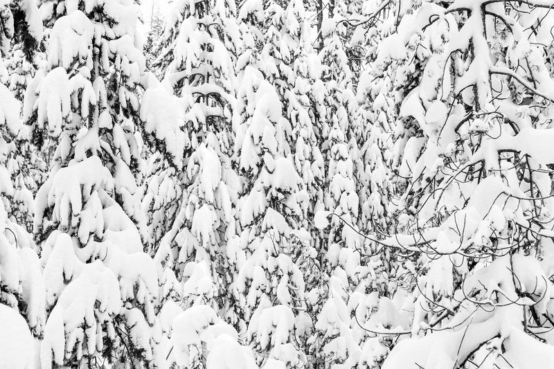 Monochrome Frosty Forest