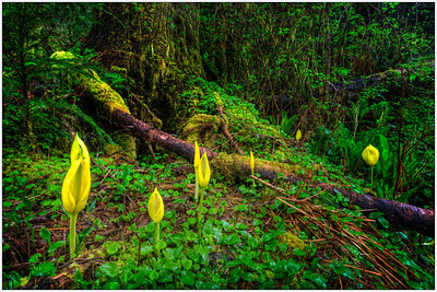 skunk Cabbage 2, nature, landscape, fine art