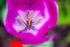 Purple Tulip Macro