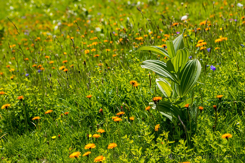 Corn Lily in the Wildflowers