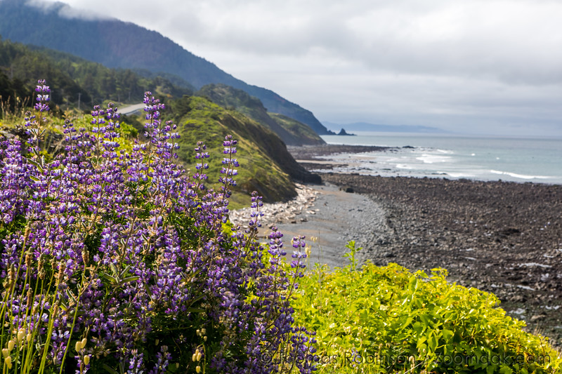 Oregon Coast Lupin