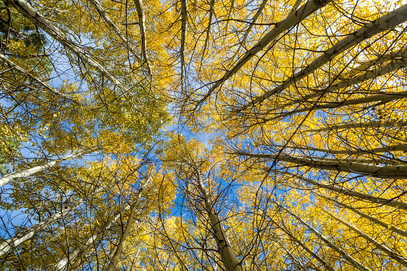Looking Up Into Aspen