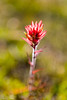 Dawn Paintbrush