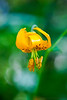 Tiger Lily, Full Bloom