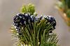 Growing Pinecones