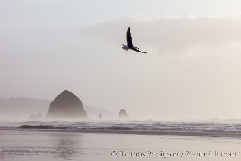 Seagull Flying in Cannon Beach
