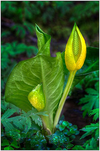 Skunk Cabbage, nature, Oregon, Fine Art