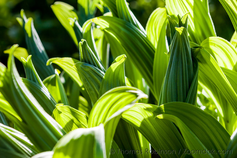 Corn Lily Backlit