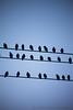 Flock on Wire (Vertical)