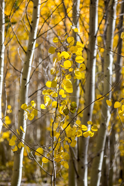 Aspen Forest, Fall Color
