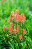Cascade Lakes Indian Paintbrush Cluster