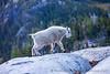 Baby Mtn Goat