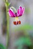 Martagon Lily, Vertical