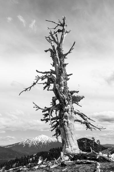 Gnarled Tree Monochrome