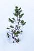 Snow Scrub Pine