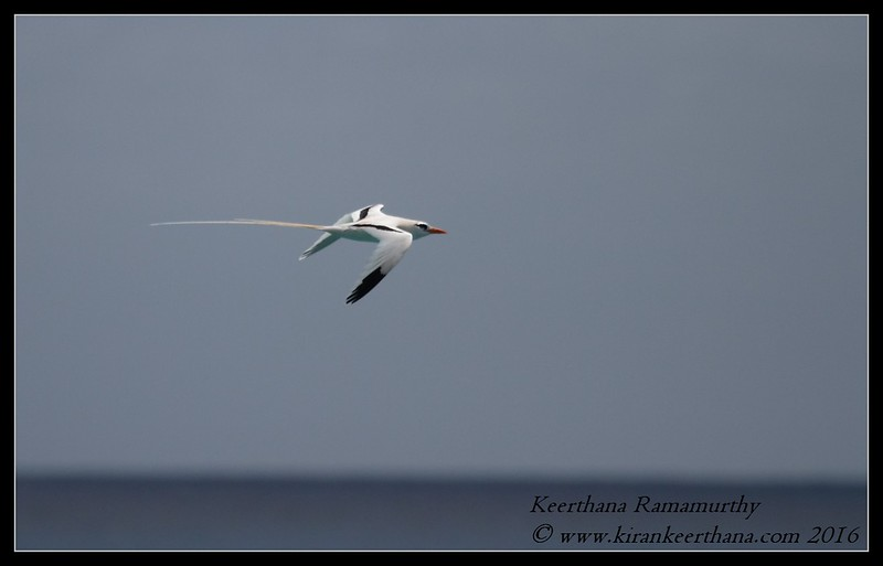 White-tailed Tropicbird (Longtail), Bermuda, April 2016
