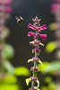 Bumblebee and Fireweed