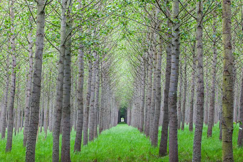 Oregon Forest in Rows - Horizontal