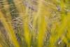Pine Needles in Pulled Focus