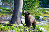 Morning Black Bear