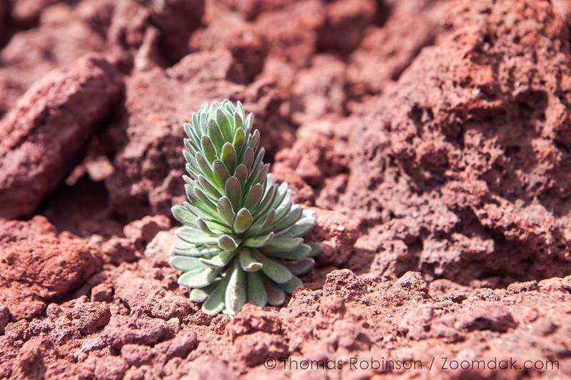 Plant Bud on Lava Rock