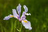 Iris in Pastel Purple