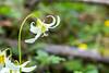 White Oregon Fawn Lily
