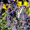 Western Tiger Swallowtail Side