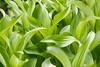 Field of Corn Lily