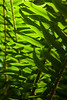 Sword Fern Backlit Macro