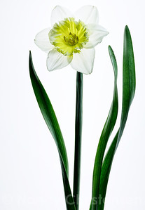 Daffodil Portrait on White