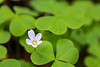 Oregon Oxalis Sprout