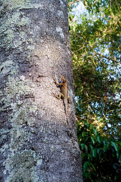 A lizard! (Eastern Collared Spiny Lizard??)