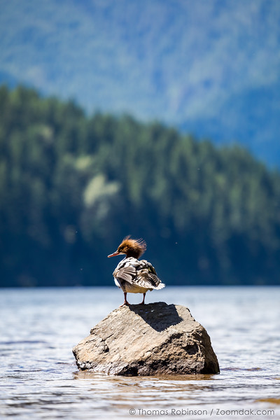 Northern Pintail Rock Perch