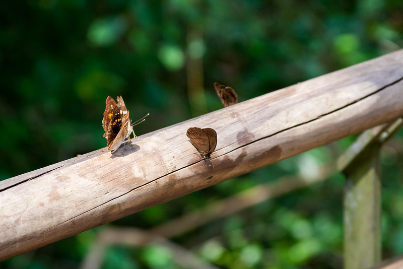 Butterflies in Iguazu.