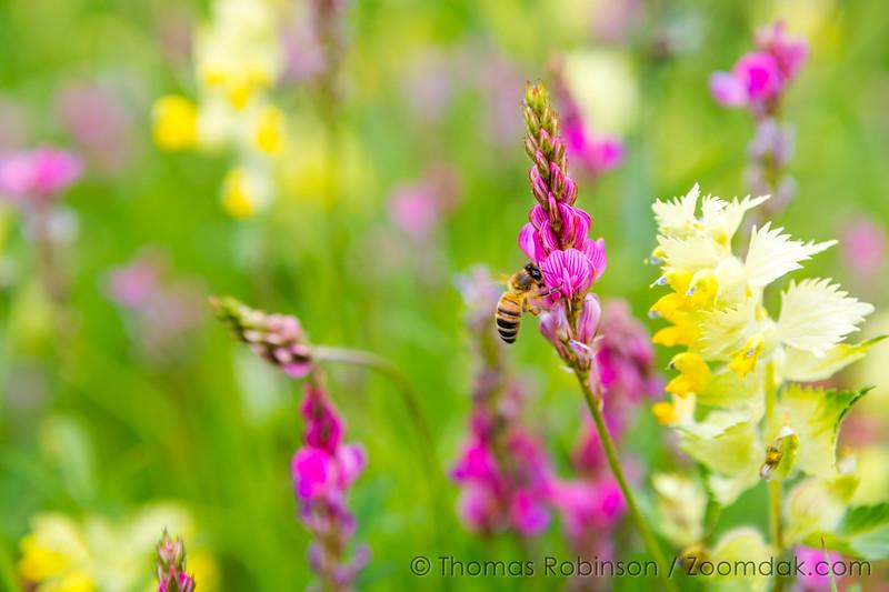 Courmayeur Wildflowers