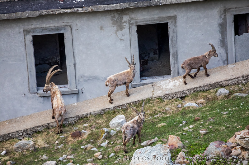Ibex at an Abandoned Building