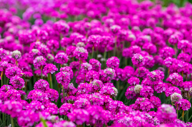 Field of Sea Thrift