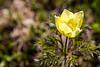 Yellow Pasque Flower