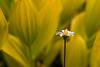 Aster Among Corn Lilies