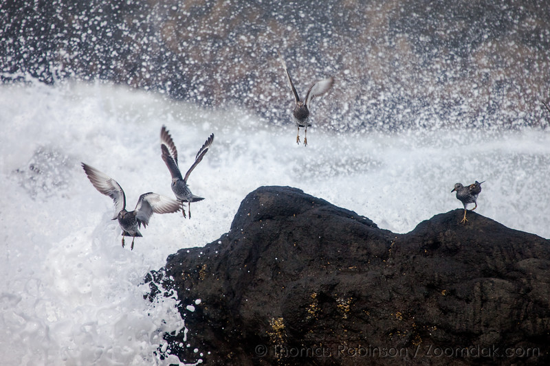 Sandpiper Flight