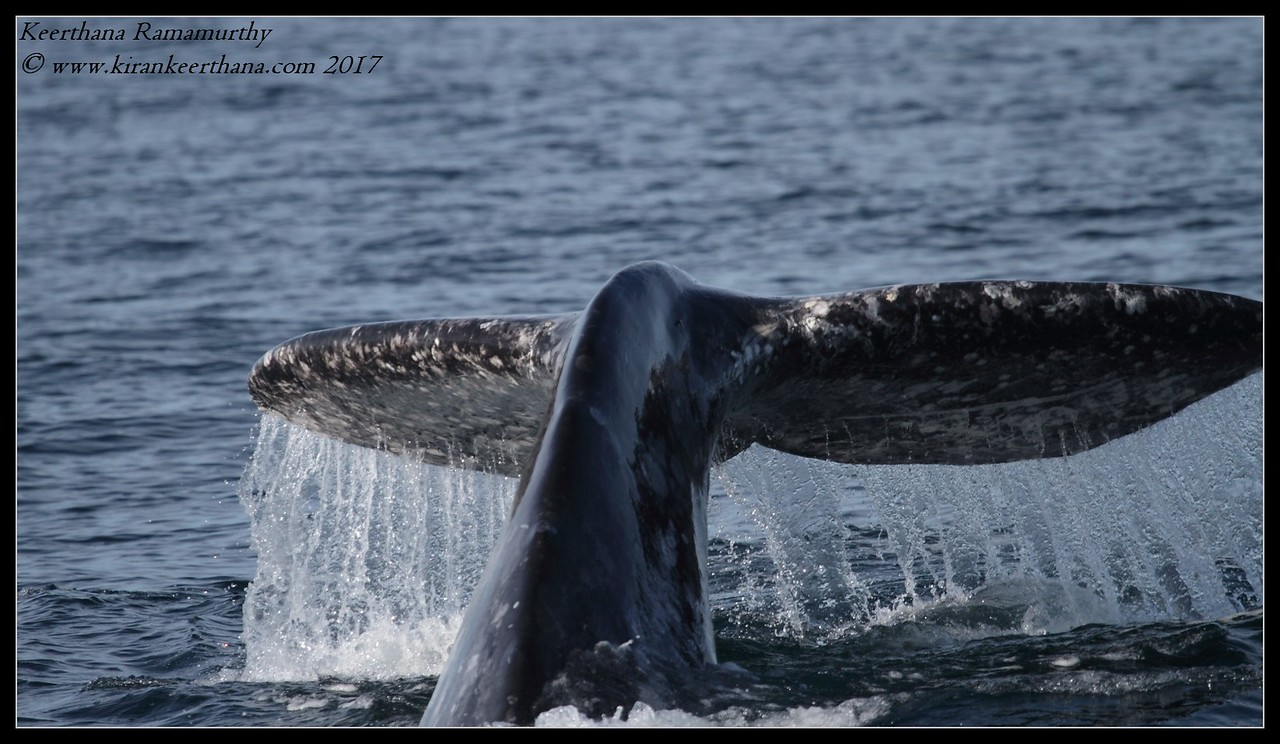 Grey Whale, Whale Watching trip, San Diego County; California, January 2017