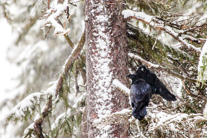 Two Ravens in Winter