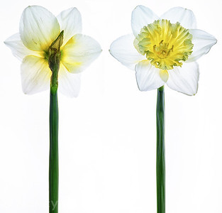 Daffodil Pair on White